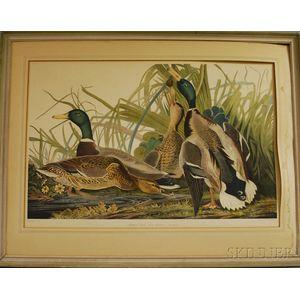 Reproduction Audubon Mallard Duck   Collotype Print