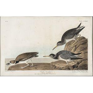 Audubon, John James (1785-1851) Purple Sandpiper  , Plate CCLXXXIV.