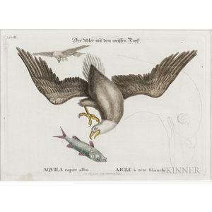Catesby, Mark (1679-1749) Aquila Capite Albo  , Plate II.
