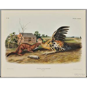 Audubon, John James (1785-1851) Tawny Weasel,   Plate CXLVIII.