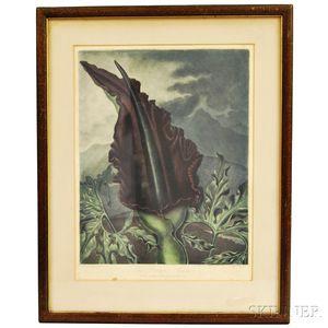 Robert John Thornton (English, 1768-1837)      The Dragon Arum (from The Temple of Flora)
