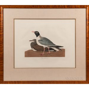 Audubon, John James (1785-1851) Black-headed Gull  , Plate CCCXIV.
