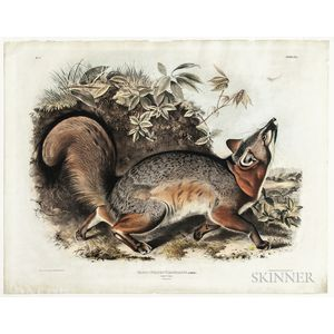 Audubon, John James (1785-1851) Canis (Vulpes) Virginianus, Grey Fox  , Plate XXI.