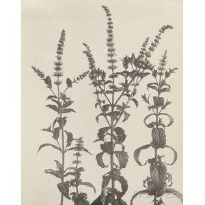 Edwin Hale Lincoln (American, 1848-1938)      Two Wildflower Studies: Habenaria Hookeriana. Hooker