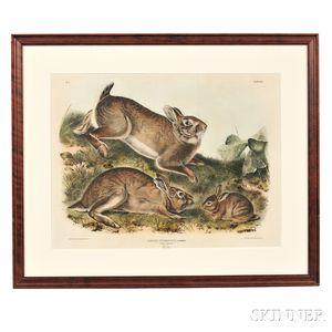 Audubon, John James (1785-1851) Grey Rabbit,   Plate XXII.