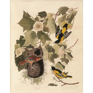 Audubon, John James (1785-1851) Baltimore Oriole  , Plate 12.