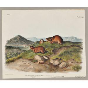 Audubon, John James (1785-1851) Tawny Lemming, Back