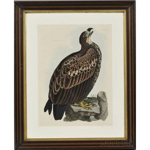 Selby, Prideaux John (1788-1867) Four Ornithological Prints: Cinereous Eagle, Young; Golden Eagle, Female; Goshawk, Adult; [and] Young