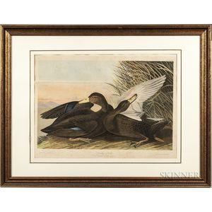 Audubon, John James (1785-1851) Dusky Duck  , Plate 386.