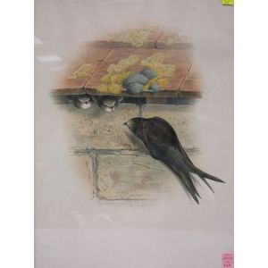 Framed Gould and Richter Bird Print of the Common Swift